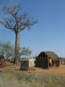 Baobab Tree Photo Michael Sluimer 2011