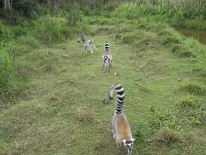 Lemur Photo Michael Sluimer 2011