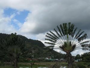 Traveler's Palm Photo Michael Sluimer 2011