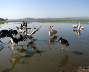 Marabou Storks and Pelicans Photo Vincent Tepas 2011