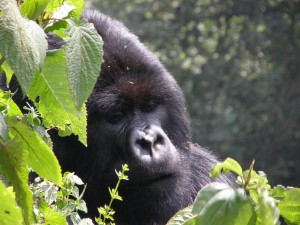 Volcano NP Mountain Gorilla Photo Hennie Sluimer 2008